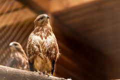 A close-up of a brown saker falcon royalty free stock photos