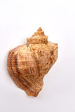 Close up of brown sea shell. Royalty Free Stock Images