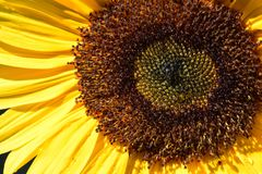 Bee Sunflower Macro 04. Close up on the brown seed florets of a yellow petaled Sunflower Royalty Free Stock Images
