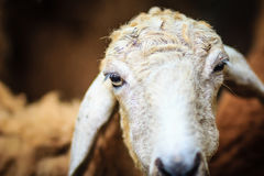 Close up brown sheep in the sheep farm. Sheep in the farm waitin Royalty Free Stock Images