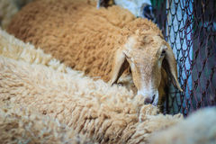 Close up brown sheep in the sheep farm. Sheep in the farm waitin Royalty Free Stock Photography