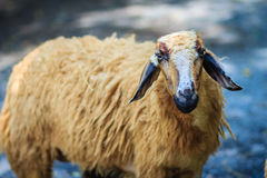 Close up brown sheep in the sheep farm. Sheep in the farm waitin Royalty Free Stock Photo