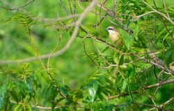 Brown Shrike. The close-up of a Brown Shrike stands in summer branches. Scientific name: Lanius cristatus Stock Image