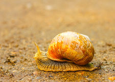 Close-up of brown snail moving on the ground Royalty Free Stock Photo