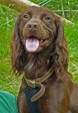 Close up of brown springer spaniel. Stock Photography