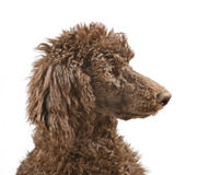 Close-up of a brown Standard Poodle Royalty Free Stock Image