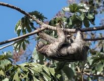 Three-toed Sloth climbing tree, Panama. Close-up of a Brown-throated Three-toed Sloth hanging from a Cecropia tree branch in Panama Royalty Free Stock Photo