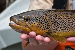Close up of a brown trout after being caught royalty free stock image