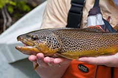 Close up of a brown trout after being caught Royalty Free Stock Photos