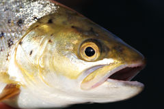 Close up of Brown trout royalty free stock photography