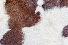 Close up brown white calf textured Royalty Free Stock Photography