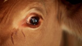 Close up of a cow`s side face showing eye stock video footage