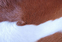 Close up Brown and white cowhide Stock Photography