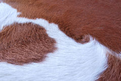 Close up Brown and white cowhide Royalty Free Stock Photography