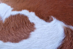 Close up Brown and white cowhide Royalty Free Stock Photos