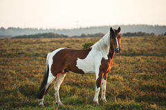 Close up of brown and white New Forest pony. Brown and white New Forest pony horse in sunrise landscape Stock Photo