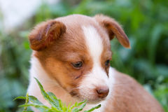 Close-up of Brown and white puppy's head Stock Image