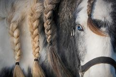Palomino horse with blue eye. Close-up brown and white spotted palomino horse with blue eye and beautiful braided mane. Horse face focus stock photo