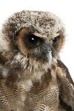 Close up of Brown Wood Owl, Strix leptogrammica, in front of white background. Six months old royalty free stock photography