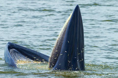 Close up of Bryde's whale full of anchovy royalty free stock images