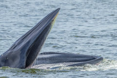 Close up of Bryde's whale Stock Photo
