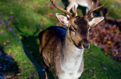 Close up of buck with antlers stock image