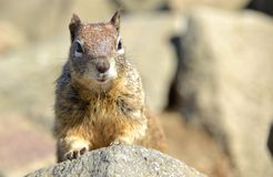 Close up of a buck toothed squirrel. Royalty Free Stock Photo