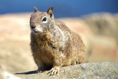 Close up of a buck toothed squirrel. Stock Images