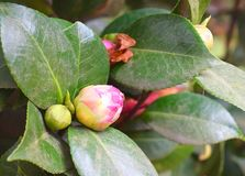 Close up of Bud of Camellia Japonica - Pink Wood Rose Flower with Green Leaves in Background Royalty Free Stock Image