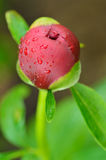 Close-up of bud of peony flower. After spring rain in a garden Stock Images
