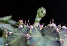Close up of Budding Gymnocalycium cactus flower. In garden Stock Photo
