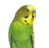 Close-up of Budgie with beak open on white background Stock Images