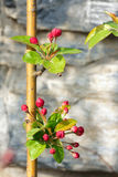 Flower buds. A close-up of buds of midget crabapple. Scientific name: Malus micromalus Stock Photo