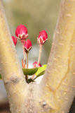 Flower buds. A close-up of buds of midget crabapple. Scientific name: Malus micromalus Royalty Free Stock Image