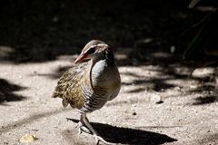 Buff banded rail royalty free stock photography