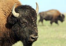 Close-up buffalo 1 Royalty Free Stock Image