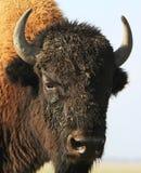Close-up buffalo Stock Image