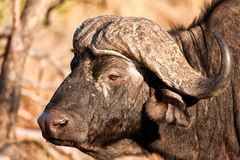 Close-up of a buffalo head Stock Images