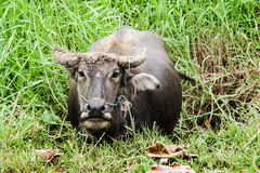 Close up buffalo in potrait on pond and feild Stock Photography