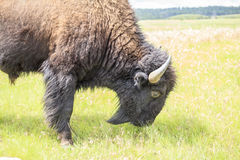 Close up of buffalo, Yellowstone National Park Royalty Free Stock Photo