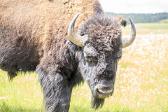 Close up of buffalo, Yellowstone National Park Royalty Free Stock Image
