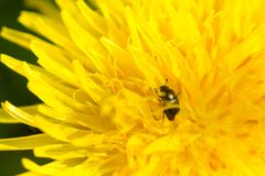 Close up of bug on blooming yellow dandelion flower Taraxacum o. Fficinale.  Detail of bright dandelion in meadow at springtime Royalty Free Stock Photos