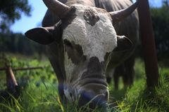 Close up on a bull royalty free stock photo