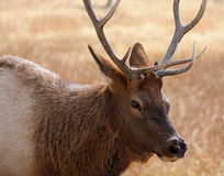 Close-up of bull elk in fall with antlers Royalty Free Stock Photo