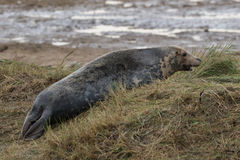 Close up of Bull Grey Seal on Beach Royalty Free Stock Images