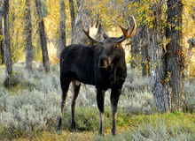 Close up Bull Moose antlered standing in sagebrush. Antlered bull Moose standing in sagebrush, vertical Royalty Free Stock Photos