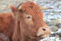 Close up of a bull's head Royalty Free Stock Photos