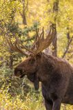 Bull Moose Close Up in Autumn Royalty Free Stock Image