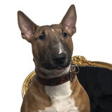 Close-up of a Bull Terrier puppy on a chair, 6 months old Royalty Free Stock Photography
