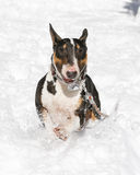 Close up of bull terrier in the snow Stock Photo
